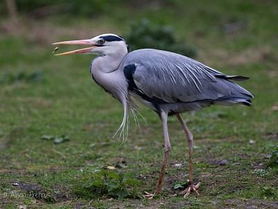 Heron_fish_great_wildlife_photograph