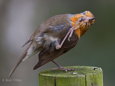 Robin_with_scratch_wildlife_photograph