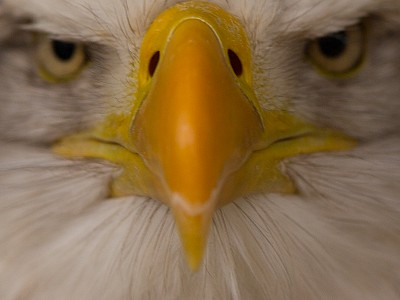 Great eagle photograph kent 22